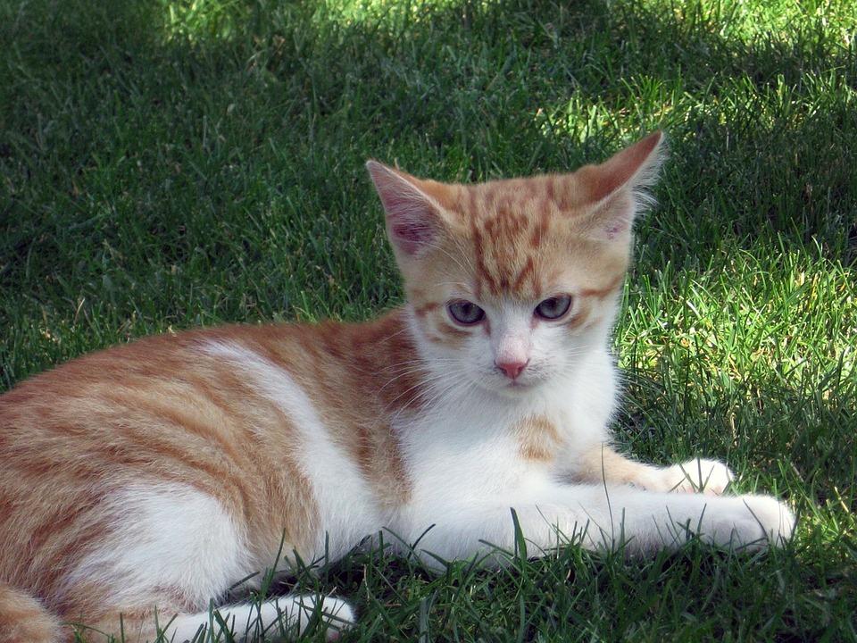 mèo con mèo mèo đực gà đáng yêu