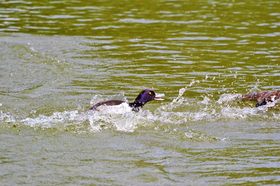Kaczka Ptak Wodny Wiersz Darmowe Zdjęcie Na Pixabay