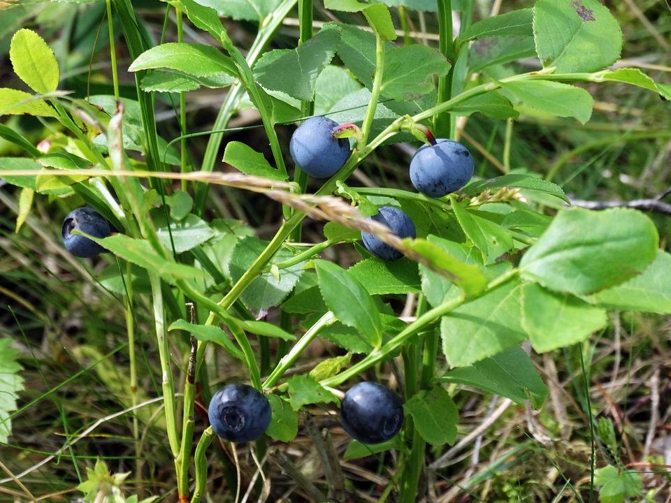 svenske blåbær
