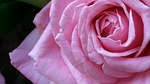 pink, blossom