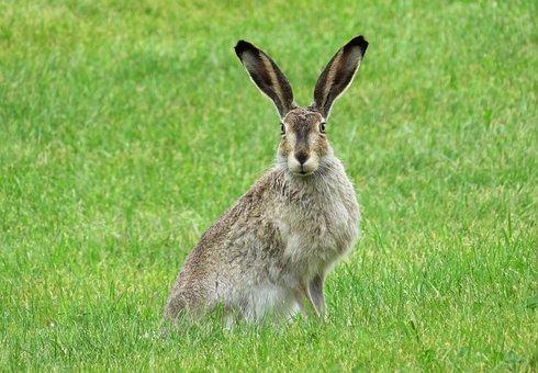 Rabbit, Bunny, Hare, Animal, Ears