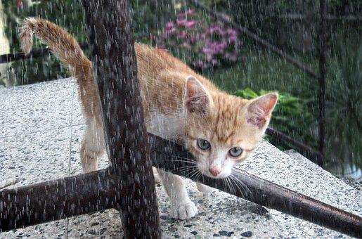 猫、トムキャット、子猫、雨