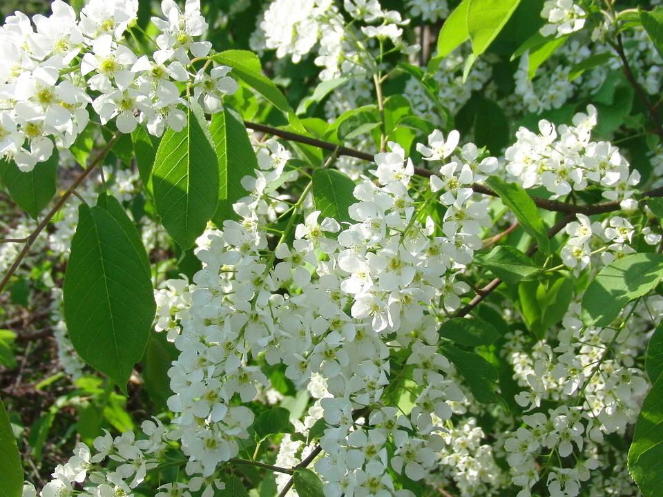 Bird cherry tree bloom white free photo on pixabay bird cherry tree bloom tree white flowers spring mightylinksfo