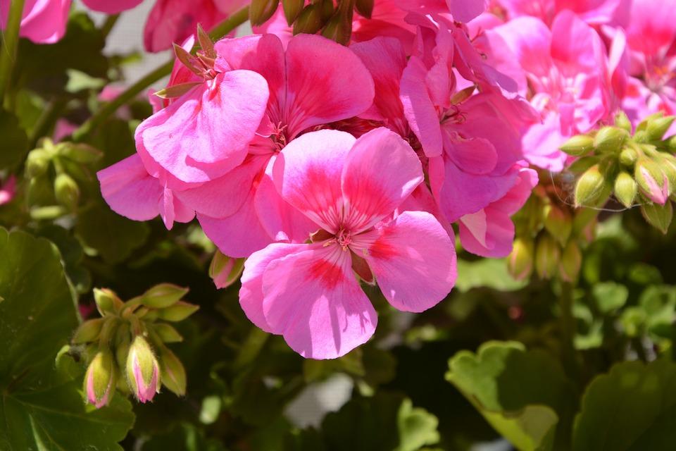 Geranium Fleurs Rose Photo Gratuite Sur Pixabay