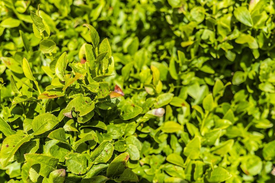 Free photo Blueberry Bushes Bush Green Free Image on Pixabay