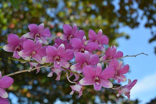 Orchidée, Orchidée Thai, Fleur, Fleurs