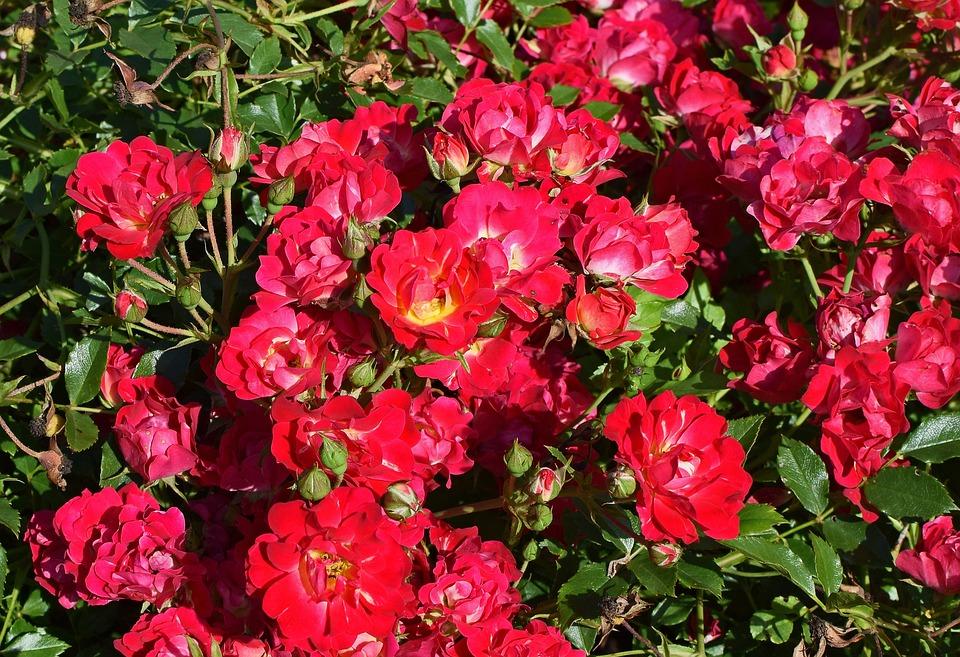 photo gratuite: rose rouge arbuste, rose, fleur - image gratuite