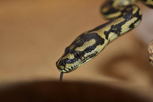 Snake, Yellow, Snakehead, Reptile