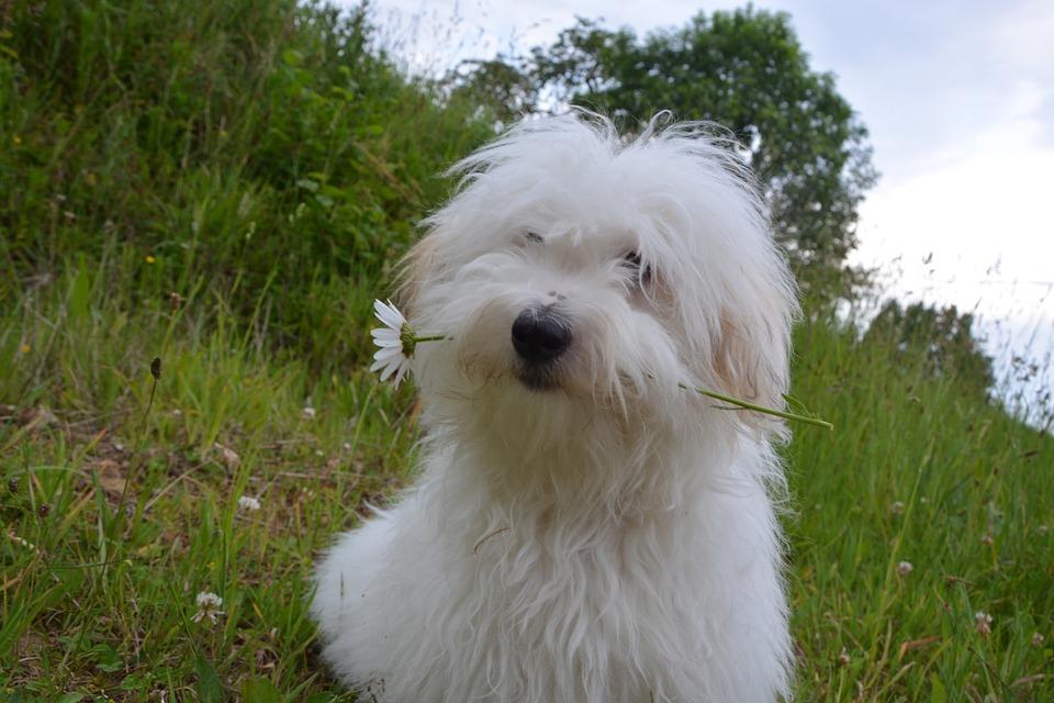 Dog Breeds Bologonese