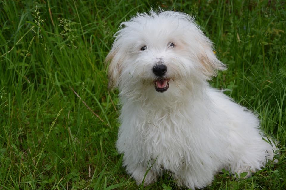 coton tulear chien blanc photo gratuite sur pixabay