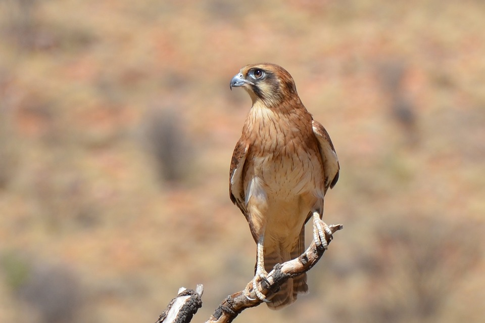 adult hawk