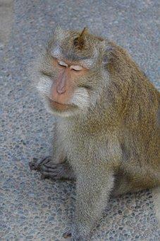 Lebar Cm Island, Monkey, Pet