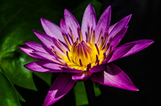 Purple flowers images pixabay download free pictures water lily pretty purple water lily mightylinksfo