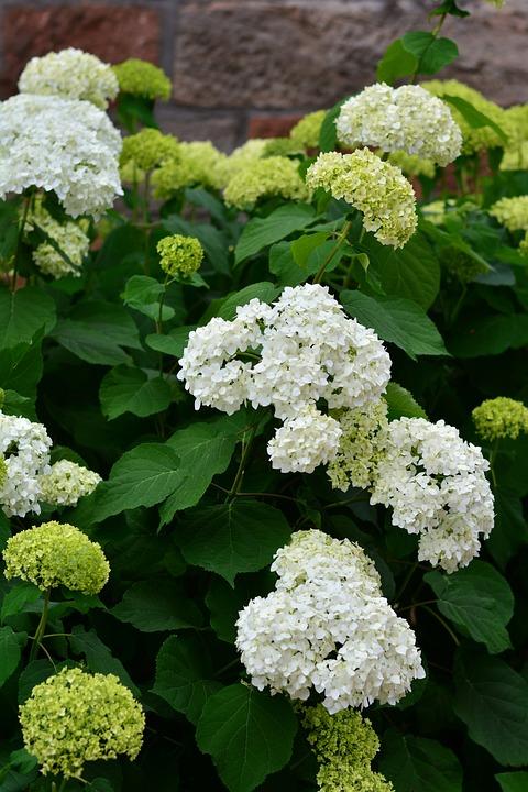 Hydrangeas white hydrangea flowers free photo on pixabay hydrangeas white hydrangea flowers garden mightylinksfo