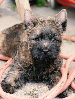 Puppy, Cairn Terrier, Terrier, Garden