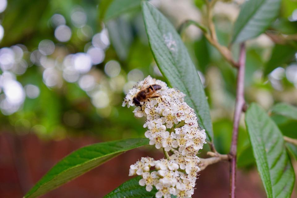 黄蜂, 昆虫, 花粉, 叶子, 自然, 花园, 野生动物, 斯汀