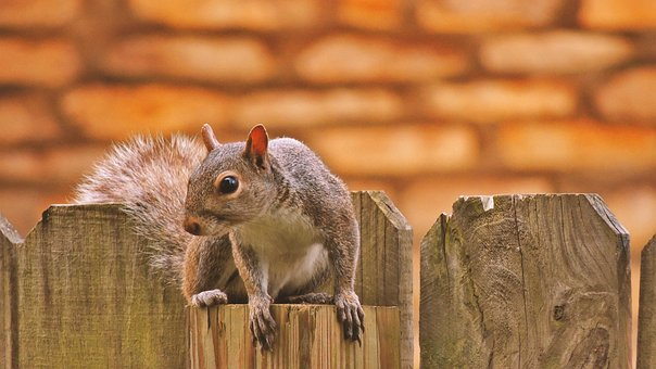 Squirrel, Fence, Photoshop, Photography