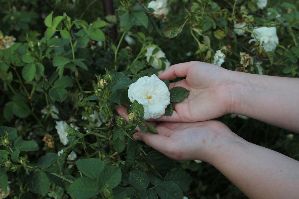 Fleur Rose La Blanche Photo Gratuite Sur Pixabay