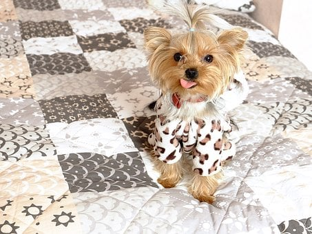 Teacup Yorkie Puppies For Sale in AZ