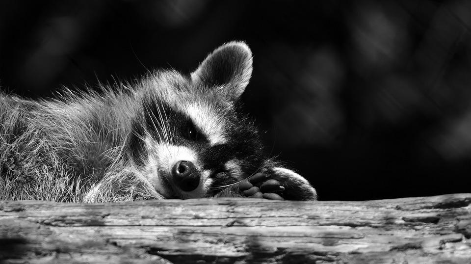 Top Photo gratuite: Raton Laveur, Noir Et Blanc - Image gratuite sur  OI47