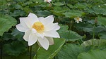 lotus, pond, country