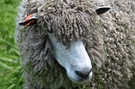 sheep, wool, woolly
