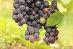 grape, inherit, wine