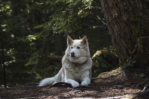 Forest, Dog, Canine, Wolf, Husky