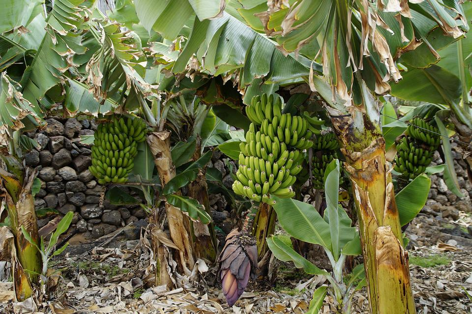 Bananas, Banana Shrub, Banana Plantation, Banana