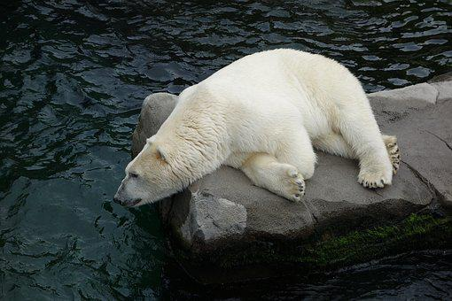 https://cdn.pixabay.com/photo/2017/06/20/20/47/polar-bear-2424759__340.jpg