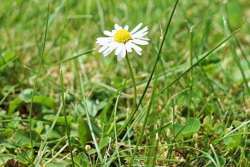 Fleur, Marguerite, Nature, Plantes