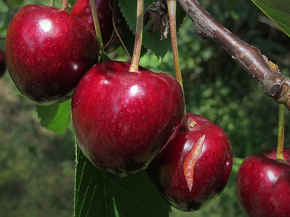 Бизнес по выращиванию вишни 7