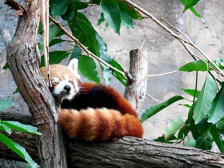 Panda Rouge, Mignon Petit Panda, Mignon