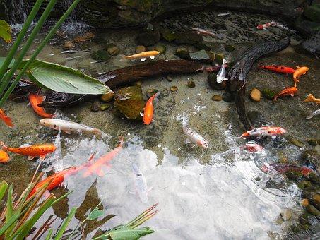 peces de colores estanque de peces