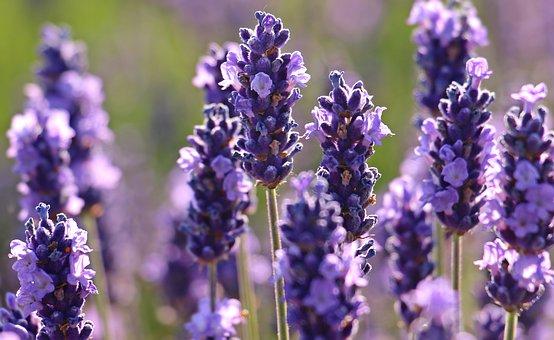 Lavendel, Blomst, Lilla, Violet
