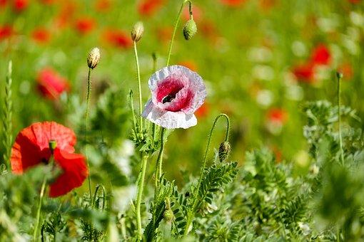 Klatschmohn, Цветок Мака, Дикий Цветок
