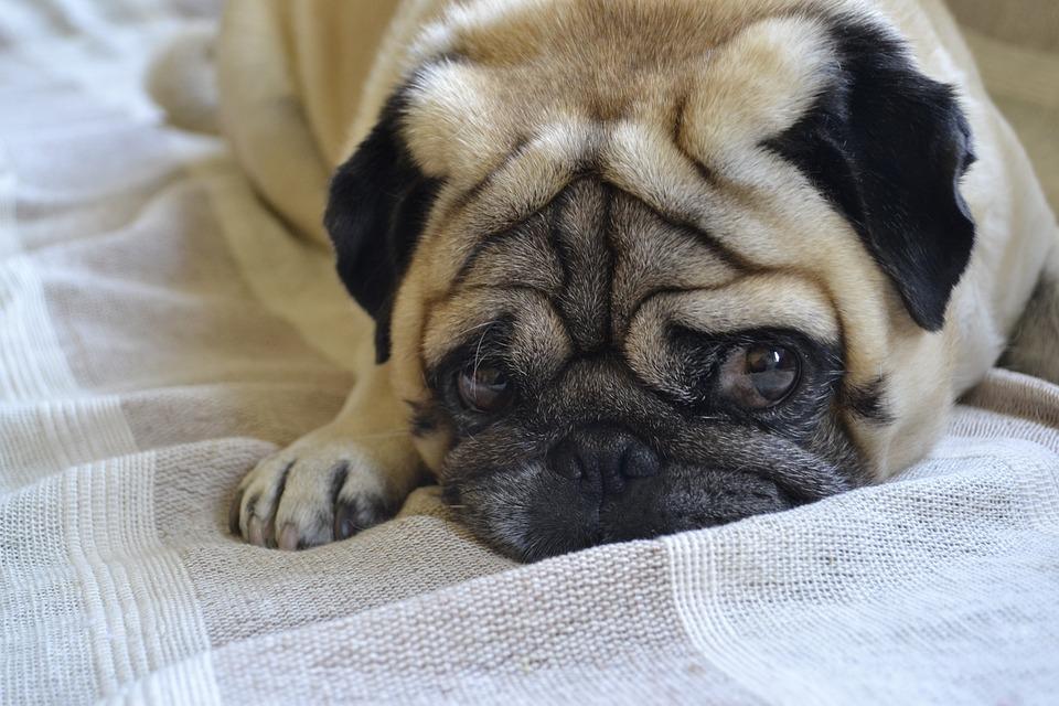 Hund Mops Liegender Kostenloses Foto Auf Pixabay