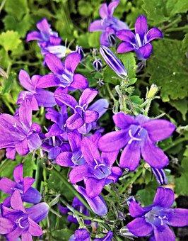 Bellflower, Campanula, Small Flowers