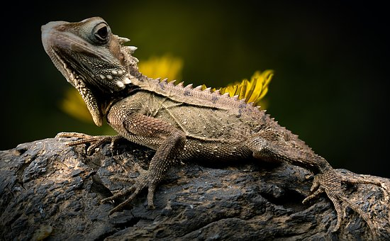 Lizard, Reptile, Forest Dragon, Nature