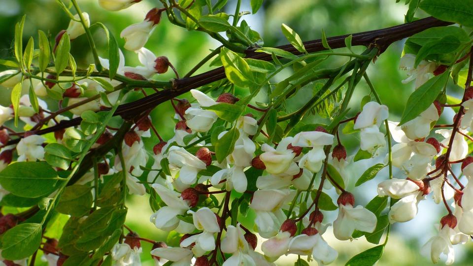 Akazie Baum Weiß · Kostenloses Foto auf Pixabay