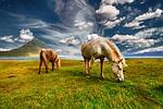 konie, islandia, wypas