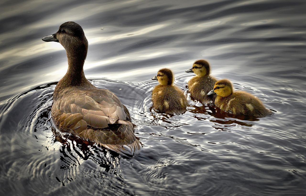 黑色的鸭子,小鸭,鸟,水,鸭宝宝,魁北克省,加拿大