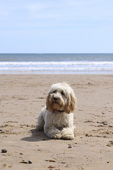 Beach, Dog, Ball, Cockapoo, Puppy