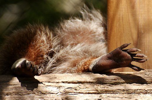 Raccoon, Feet, Concerns, Paws, Cute