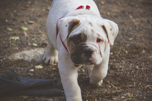 Puppy, English Bulldog, Walking