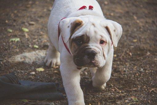 Puppy, English Bulldog, Walking