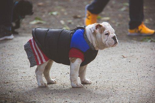 English Bulldog, Puppy, Sweater