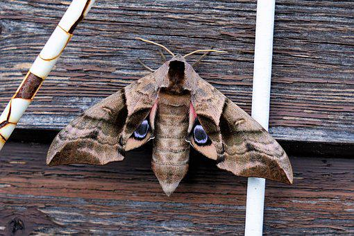Moth, Insect, Animal, Nature, Wing
