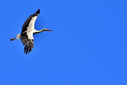 Stork, Fly, Wing, Birds, Plumage, Nature