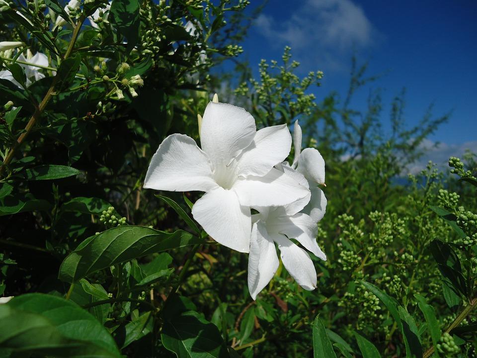 Weiße Blumen Rebe Bewuchs Wilde · Kostenloses Foto auf Pixabay